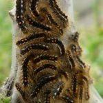 Brown-tailed Caterpillars