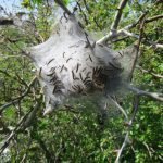 Caterpillars emerging from web on Two Tree Island (2014)